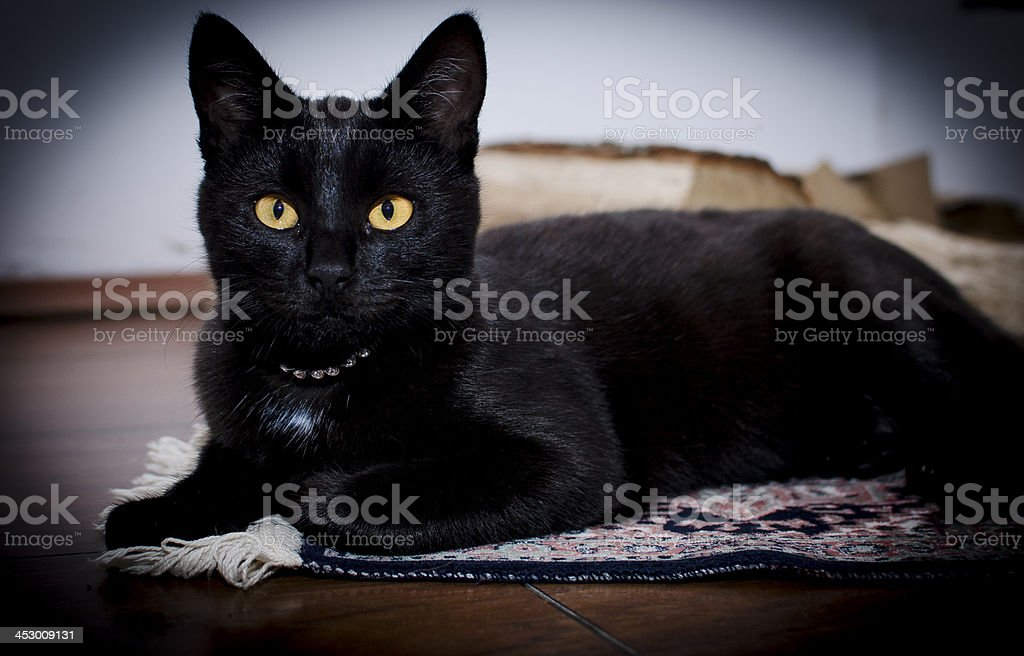 Beautiful black kittie posing stock photo