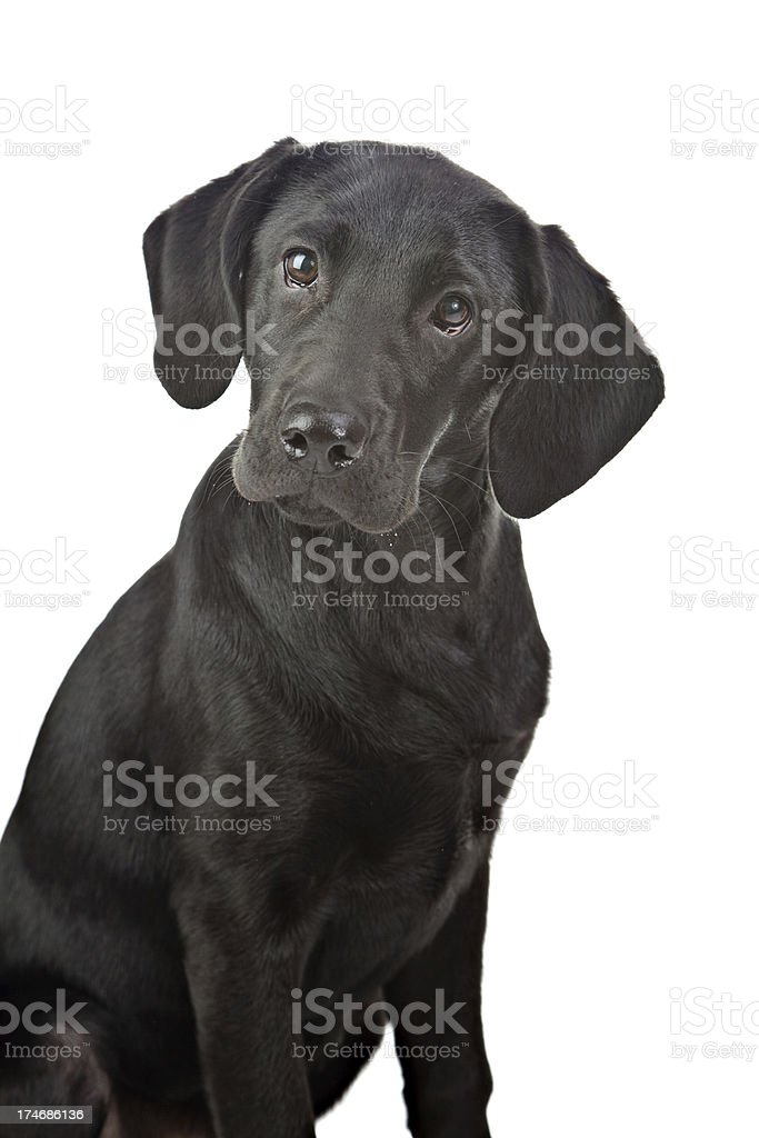Beautiful Black Labrador stock photo