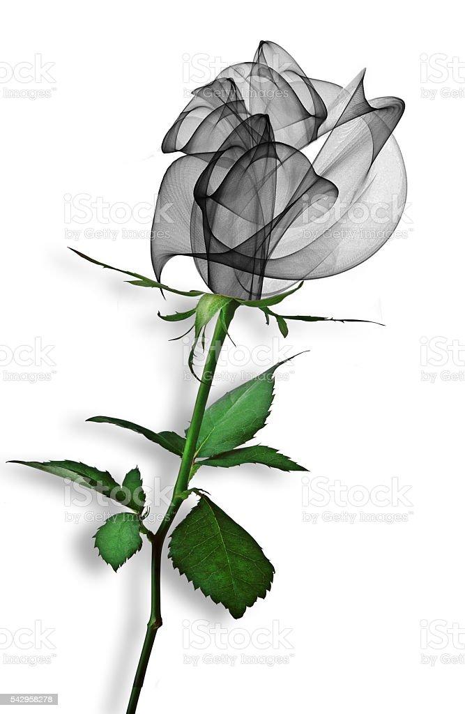 Beautiful black rose on a white background stock photo