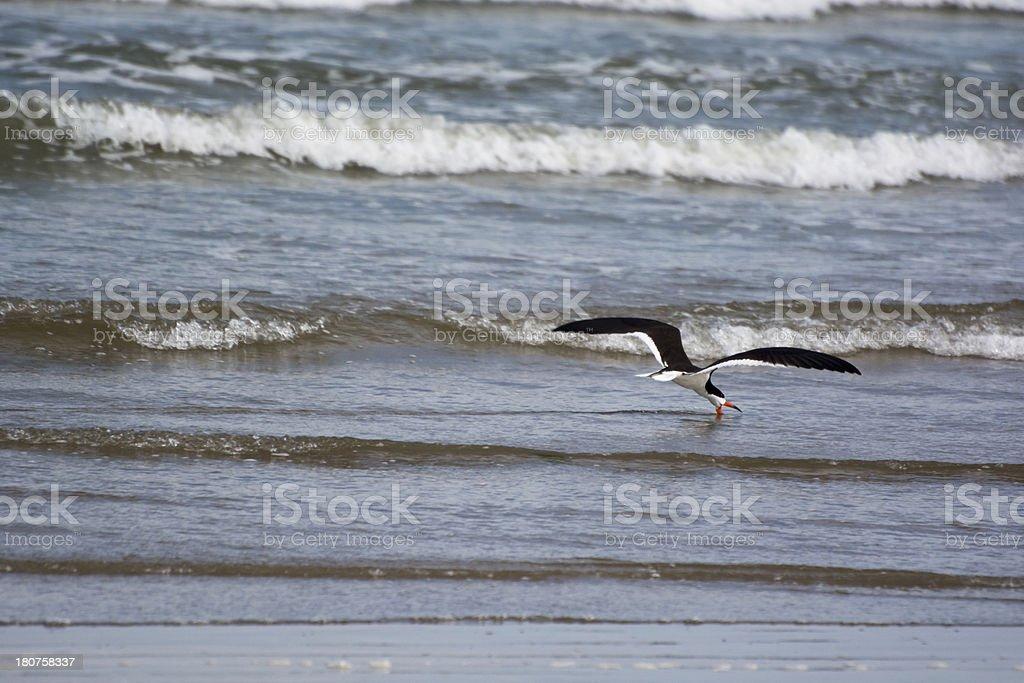 Beautiful Black Skimmer Bird Skimming Surf For Dinner stock photo