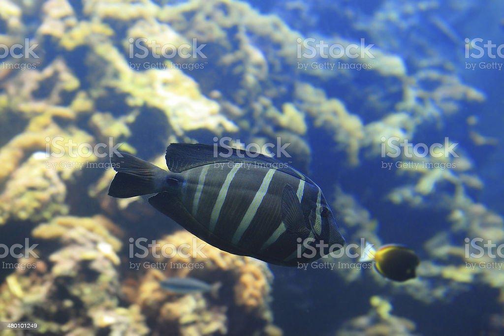 Beautiful black tropical fish royalty-free stock photo