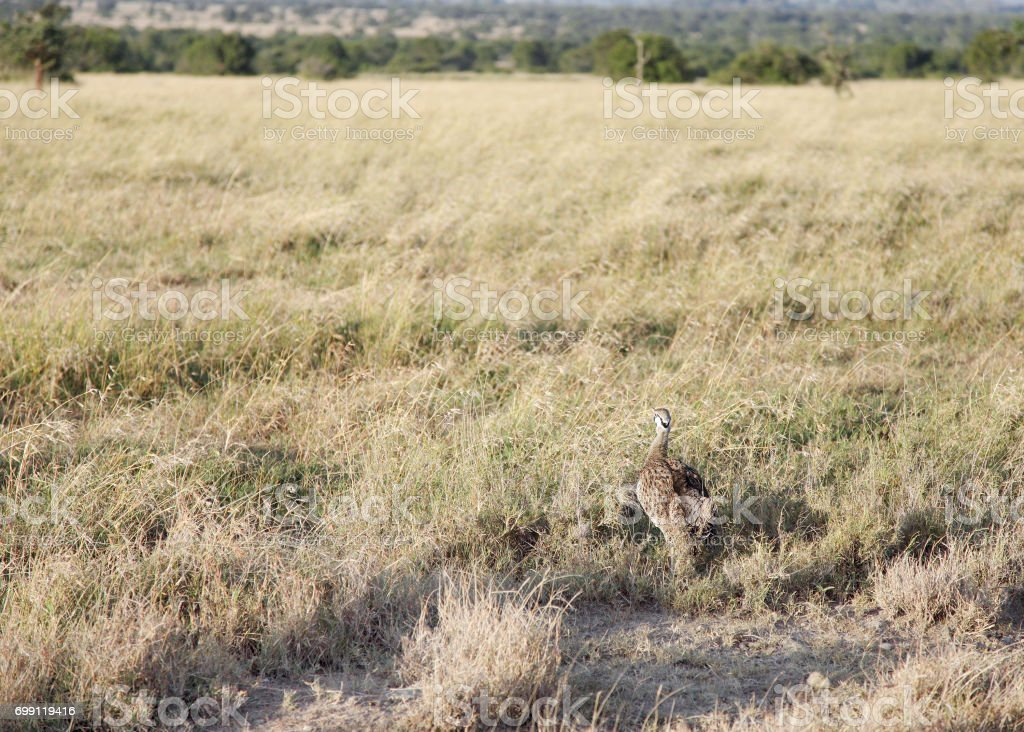 A beautiful Black-Bellied Bustard in the grassland stock photo