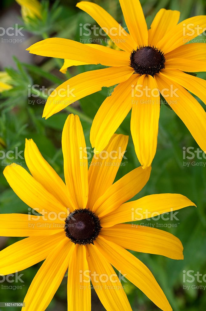 Beautiful black-eyed susans royalty-free stock photo