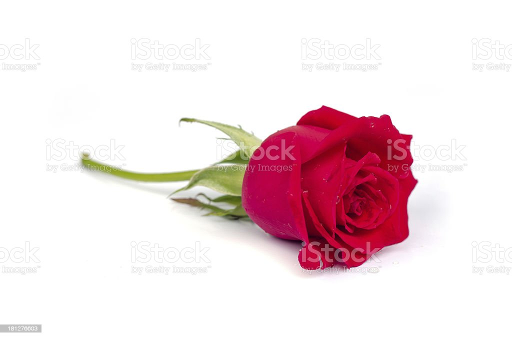 Beautiful blomming red rose. stock photo
