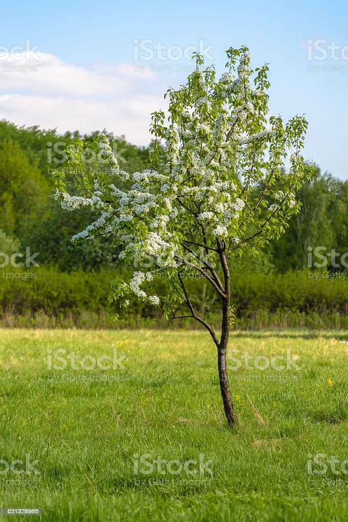 beautiful blooming apple tree in the sunlight stock photo