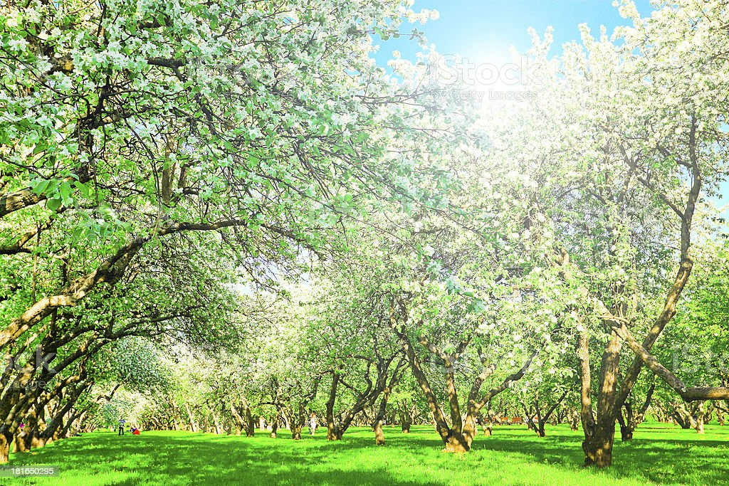 beautiful blooming apple trees in spring park royalty-free stock photo