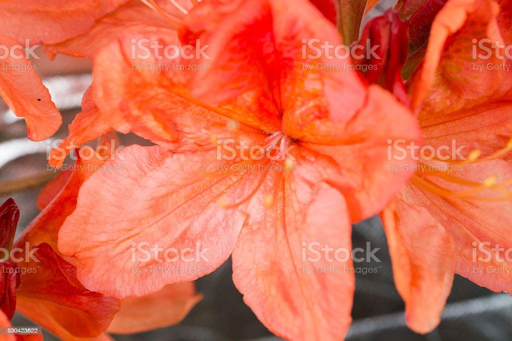 Beautiful blooming azaleas stock photo
