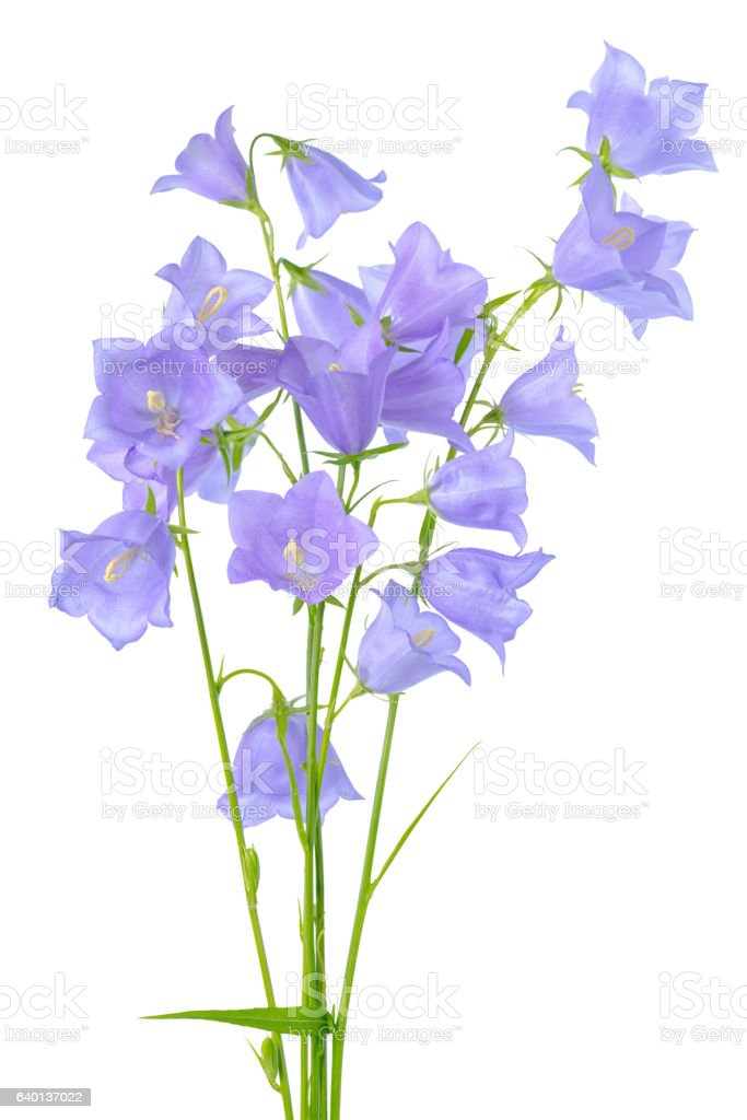 beautiful blooming bouquet of bluebell flowers isolated on white stock photo