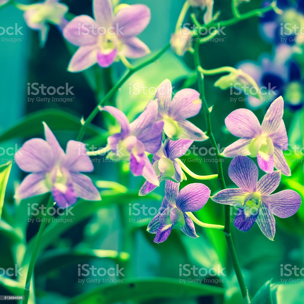 beautiful blooming branches of orchid dendrobium on nature blur stock photo