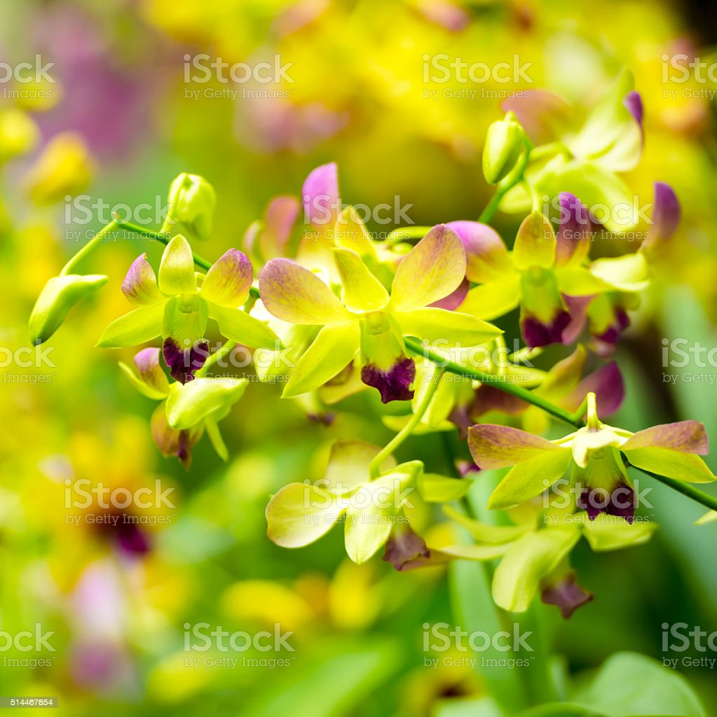beautiful blooming branches of yellow and purple orchid, dendrob stock photo