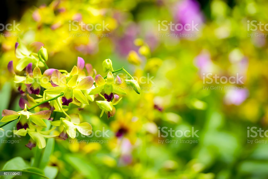 beautiful blooming branches of yellow and purple orchid stock photo