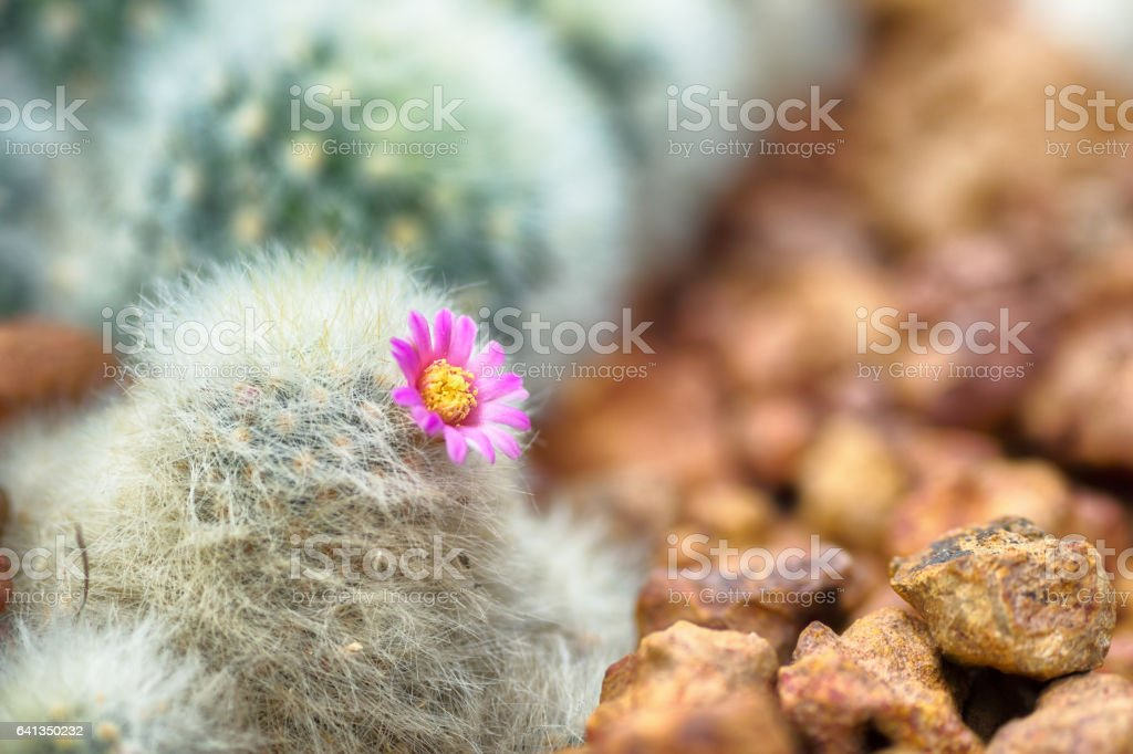 Beautiful blooming cactus with pink flower in desert stock photo