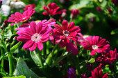 Beautiful blooming cineraria flowers