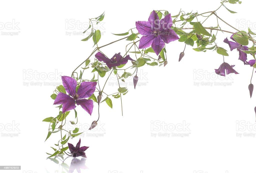 beautiful blooming clematis stock photo