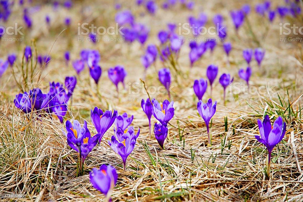 Belle fleur crocuses.   REMARQUE: photo a peu de profondeur de champ photo libre de droits