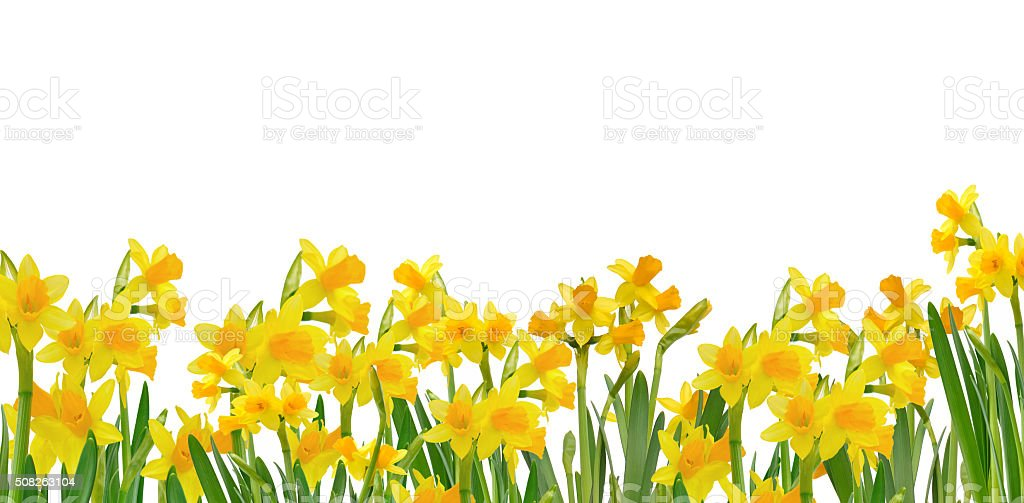 beautiful blooming daffodils stock photo