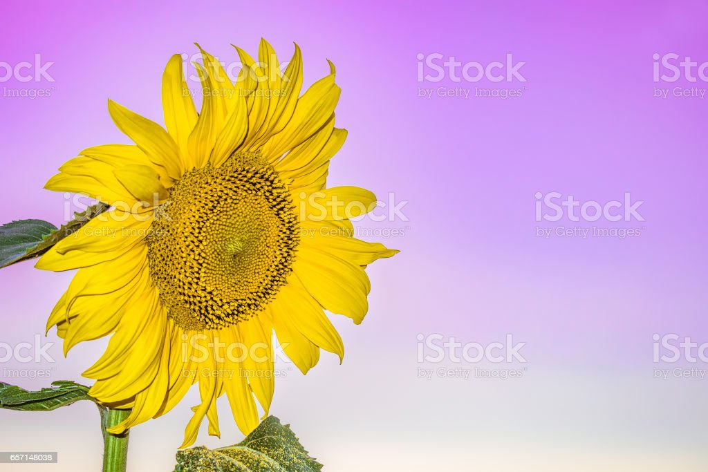 Beautiful blooming flower sunflower closeup on a gentle violet background. Agricultural natural background with copy space. stock photo