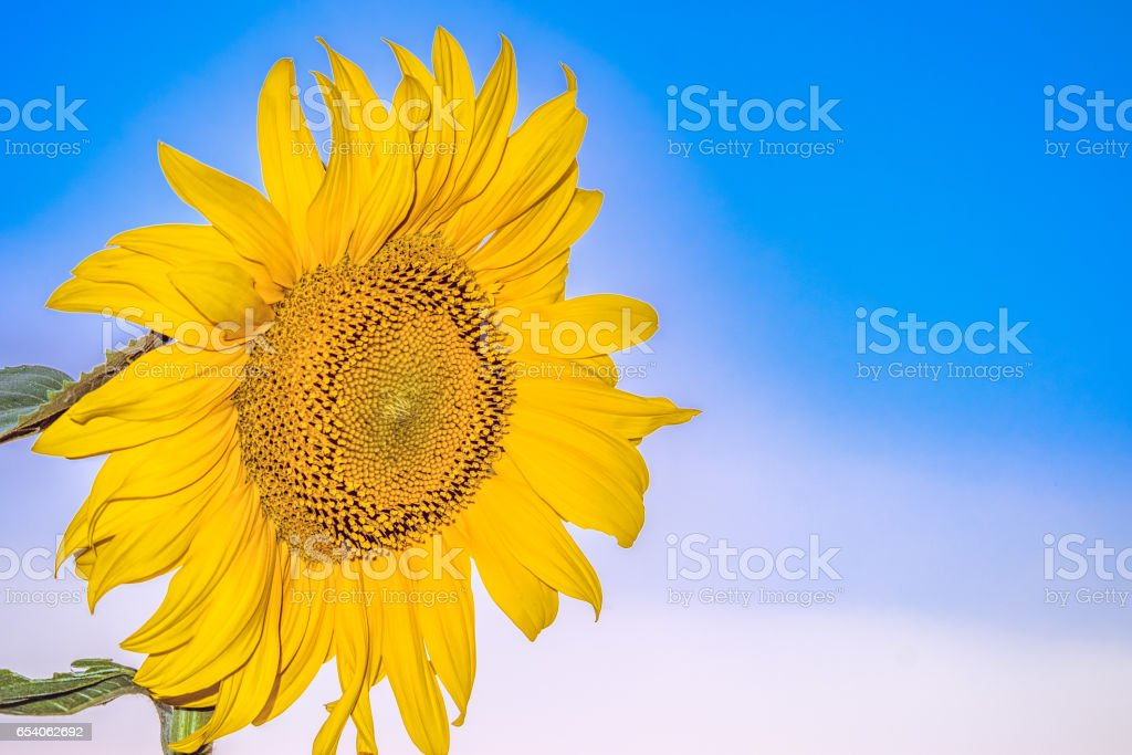 Beautiful blooming flower sunflower closeup on blue sky background....
