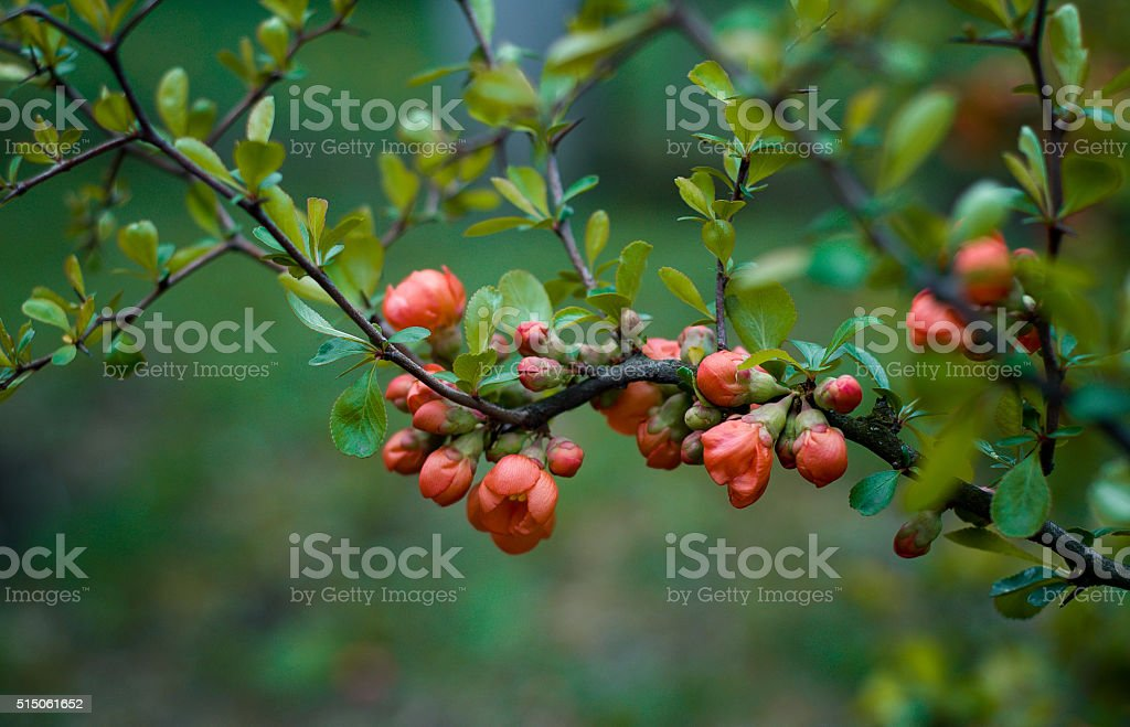 Beautiful blooming Japanese quince stock photo