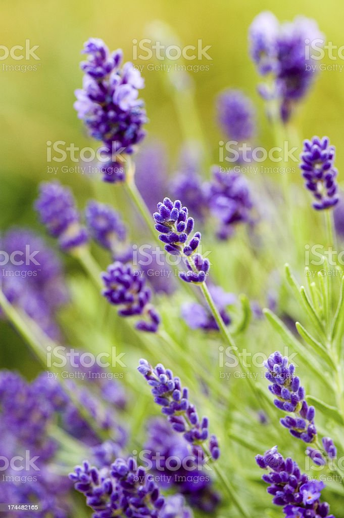 Beautiful Blooming Lavender Flowers royalty-free stock photo