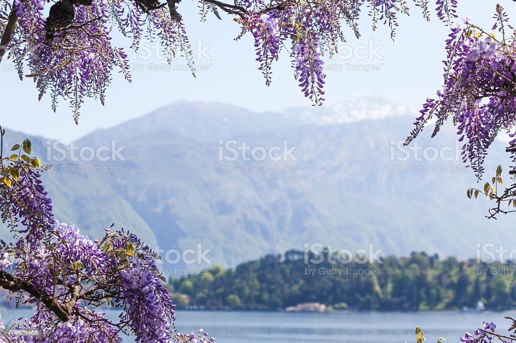 Beautiful blooming Wisteria lake alpine background stock photo