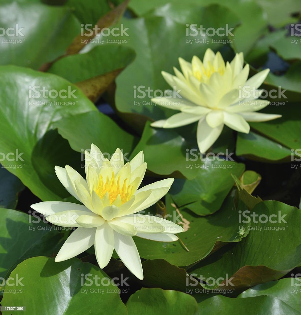 Beautiful Blooming Yellow Water Lily royalty-free stock photo
