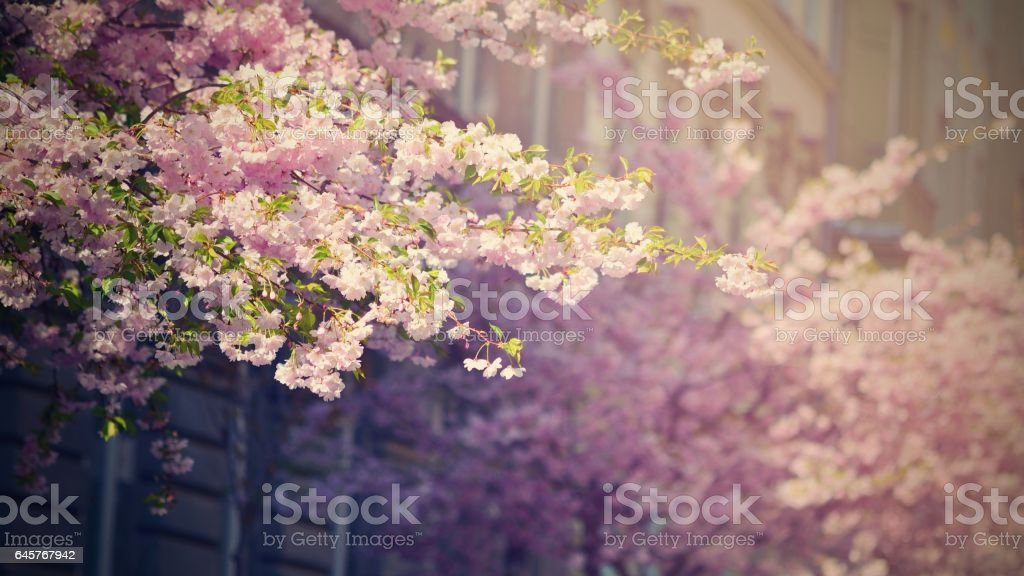 Beautiful blossom tree.Nature spring flowers. Abstract blurred background in Springtime stock photo
