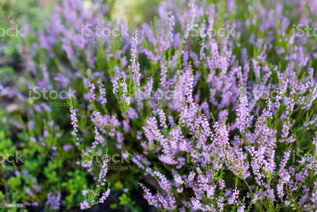 Beautiful blossoming cool purple scotch heather (Calluna vulgaris) bush background with a shallow depth of field stock photo