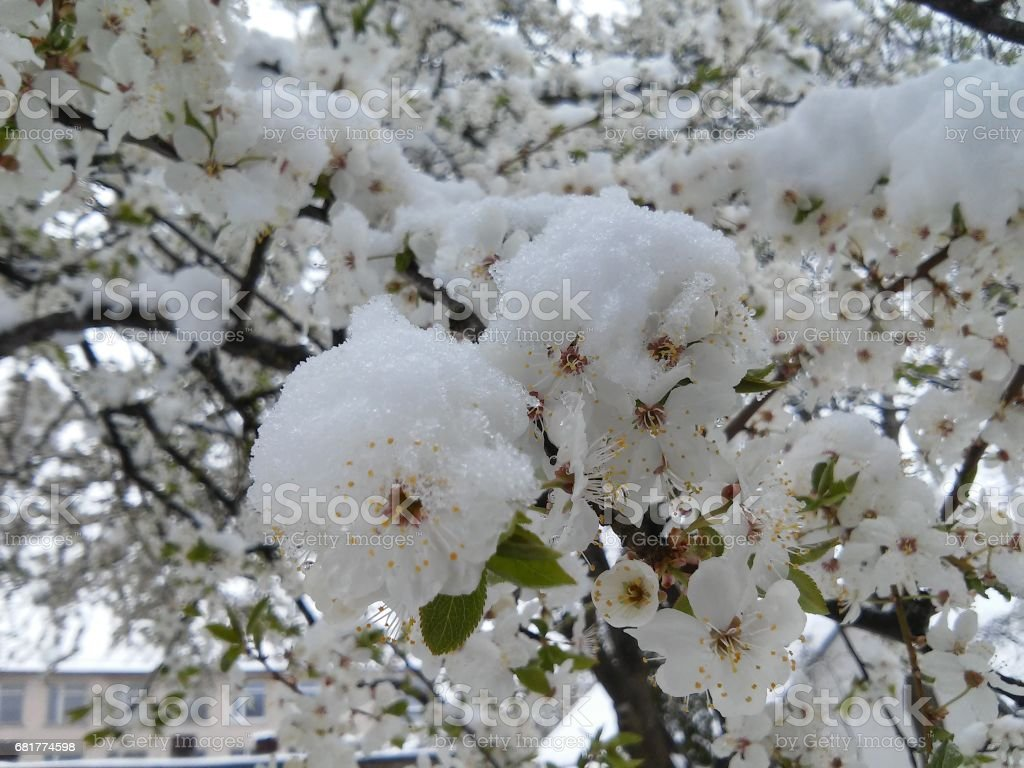 Beautiful blossoms of plum tree covered snow in may in Lithuania stock photo