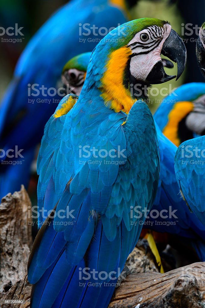 Beautiful Blue and Gold Macaw parrot bird on the log stock photo