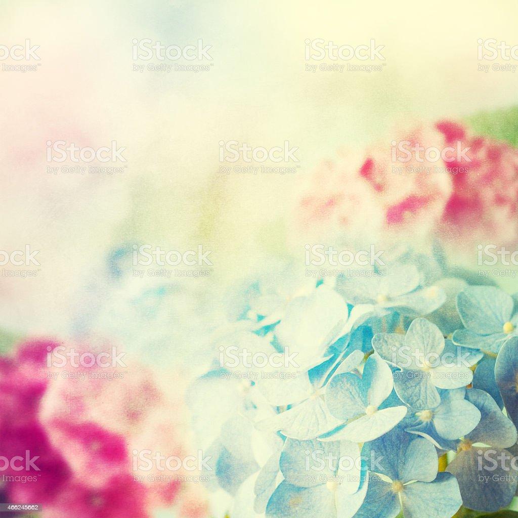 Beautiful blue and pink hydrangea. stock photo