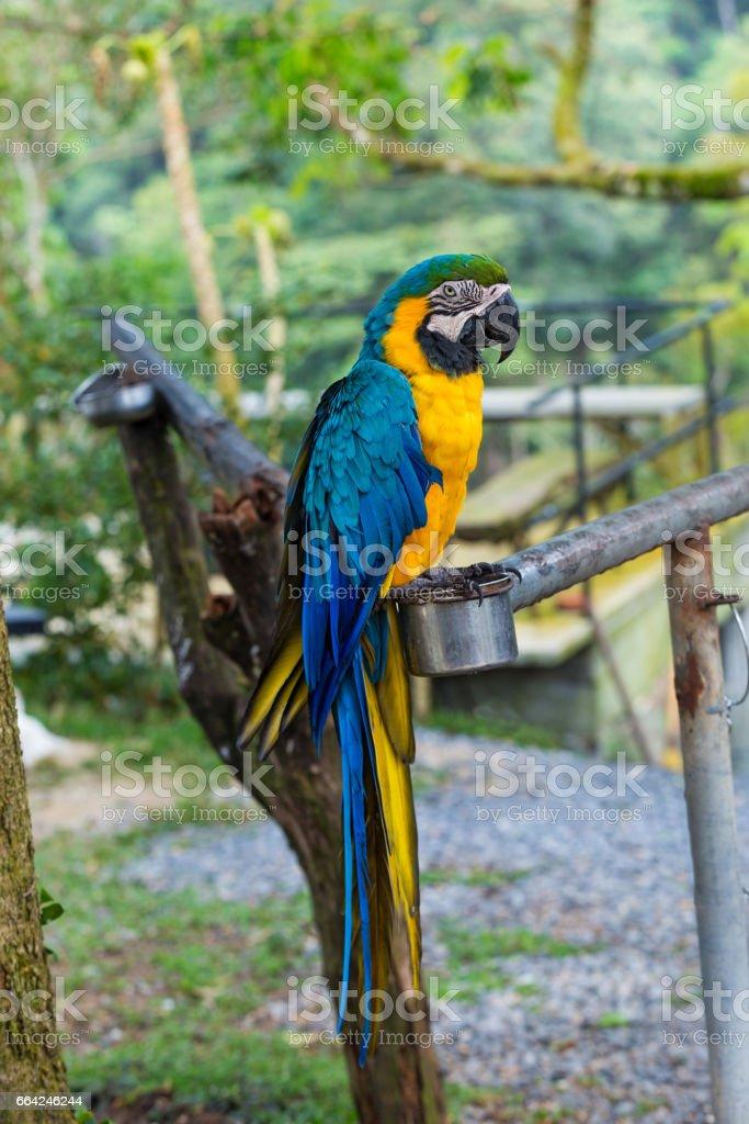 Beautiful blue and yellow macaw stock photo
