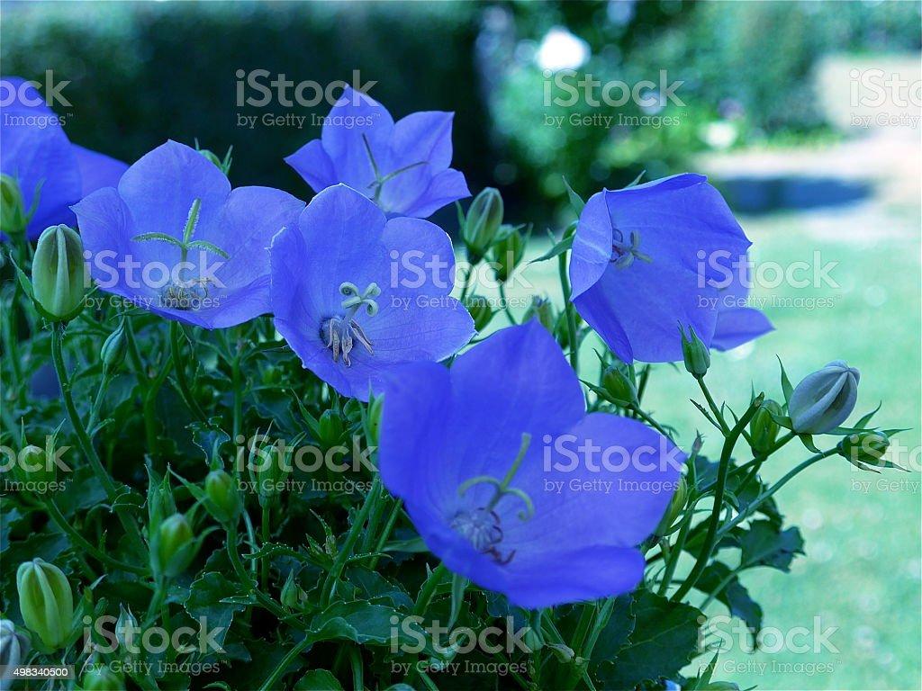 Hermoso bellflower-Bild-azul foto de stock libre de derechos