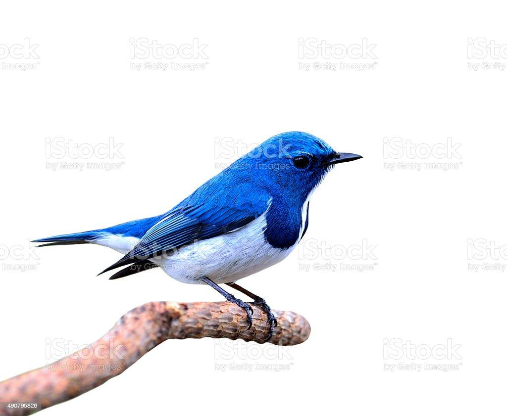 Beautiful blue bird, Ultramarine Flycatcher isolated on white ba stock photo