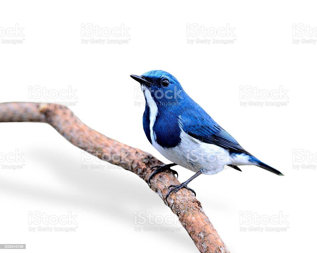 Beautiful Blue Bird, Ultramarine Flycatcher, perching on branch stock photo