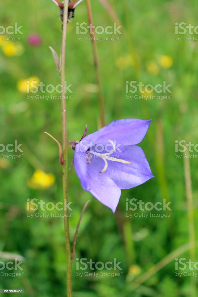 beautiful blue bluebell stock photo