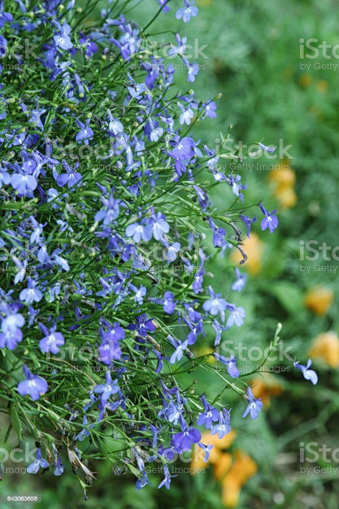 Beautiful blue flowers of climbing Lobelia plant. stock photo