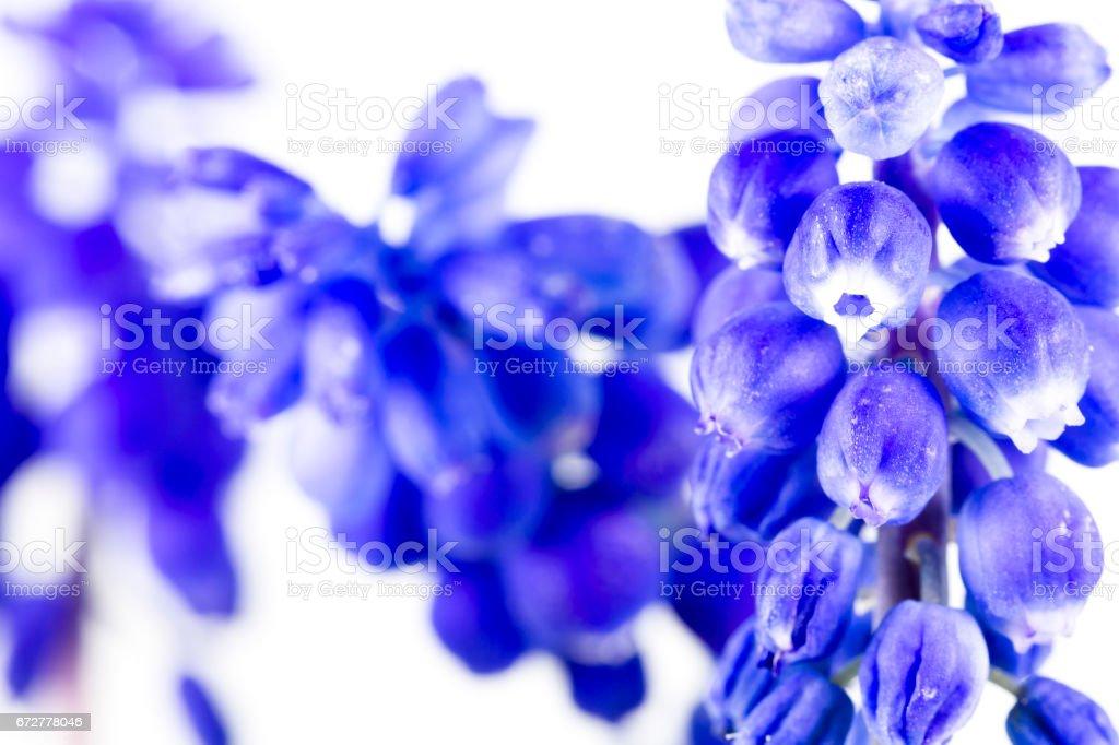 beautiful blue grape hyacinth flower isolated on white background stock photo