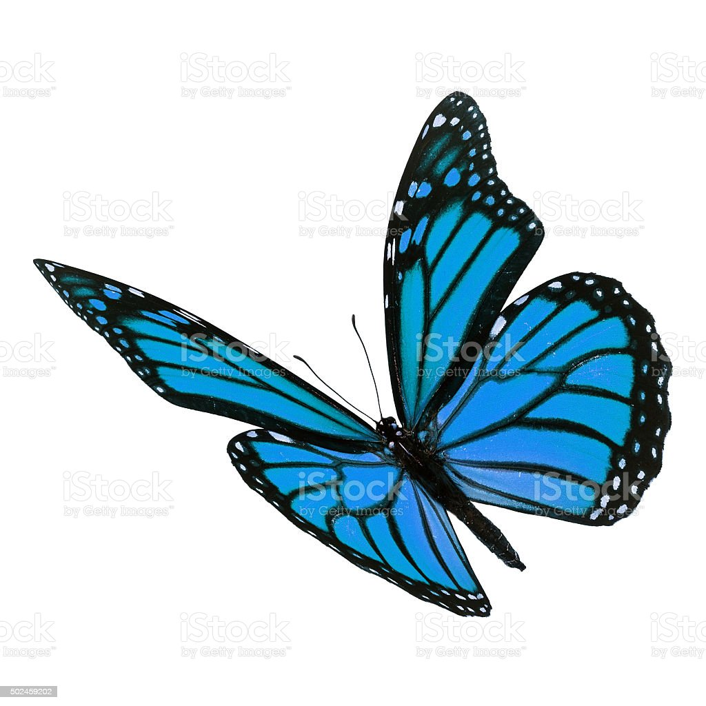 Beautiful blue monarch butterfly stock photo