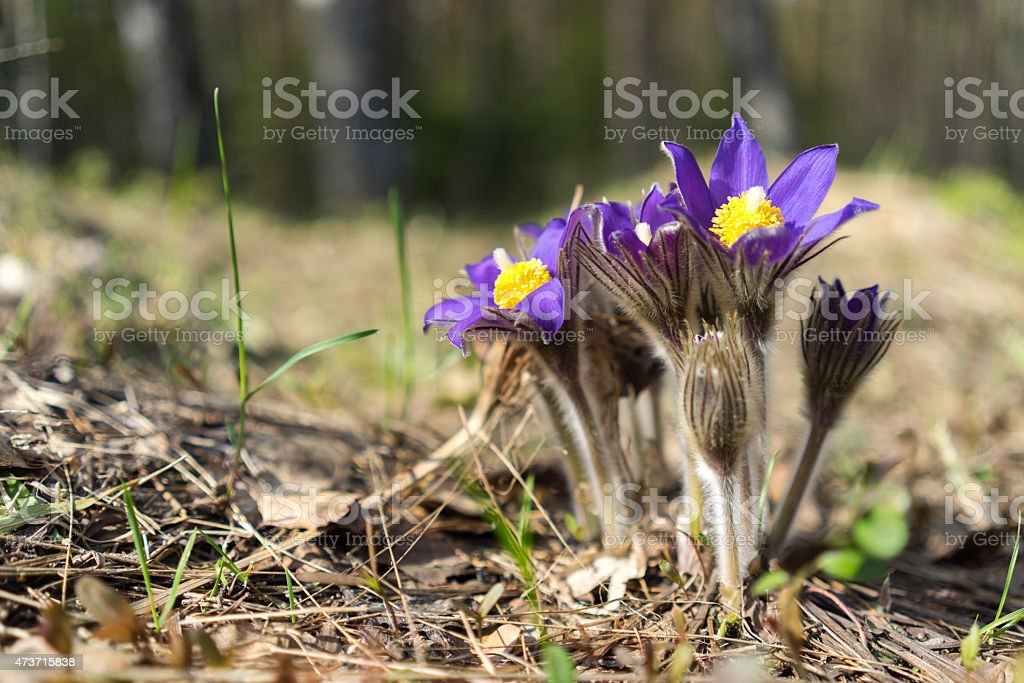 Beautiful blue spring flowers close-up stock photo