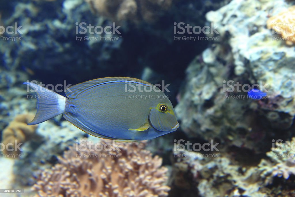 Beautiful blue tropical fish royalty-free stock photo