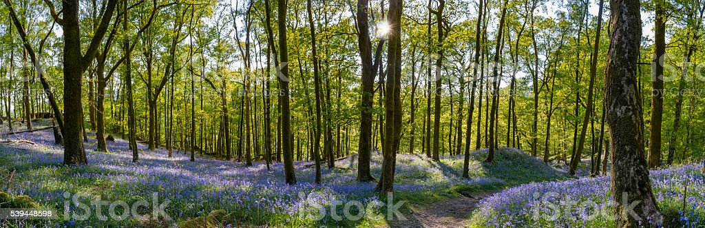 Beautiful Bluebell carpets with spring foliage on woodland trees. stock photo