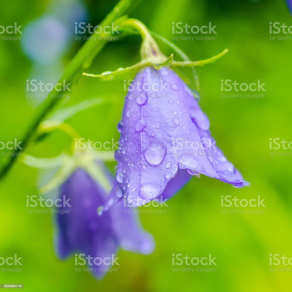 beautiful bluebell flowers with rain drops on a green blur stock photo