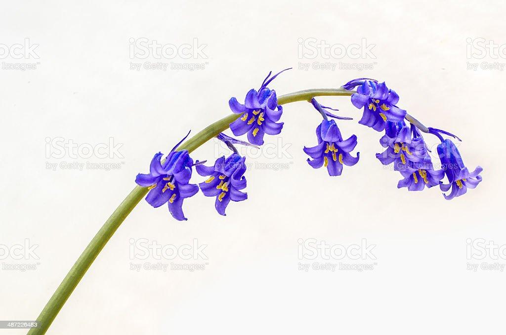 Beautiful Bluebell - macro stock photo