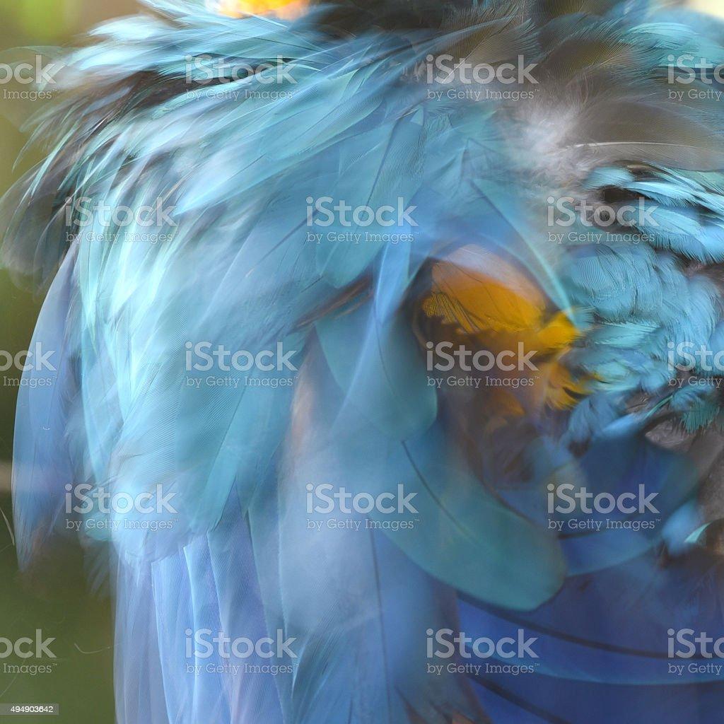 Magnifique Blur plumes d'Ara bleu et or photo libre de droits