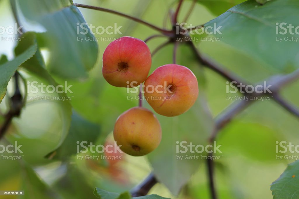 Pastel colours three crab apples blushing pink stock photo