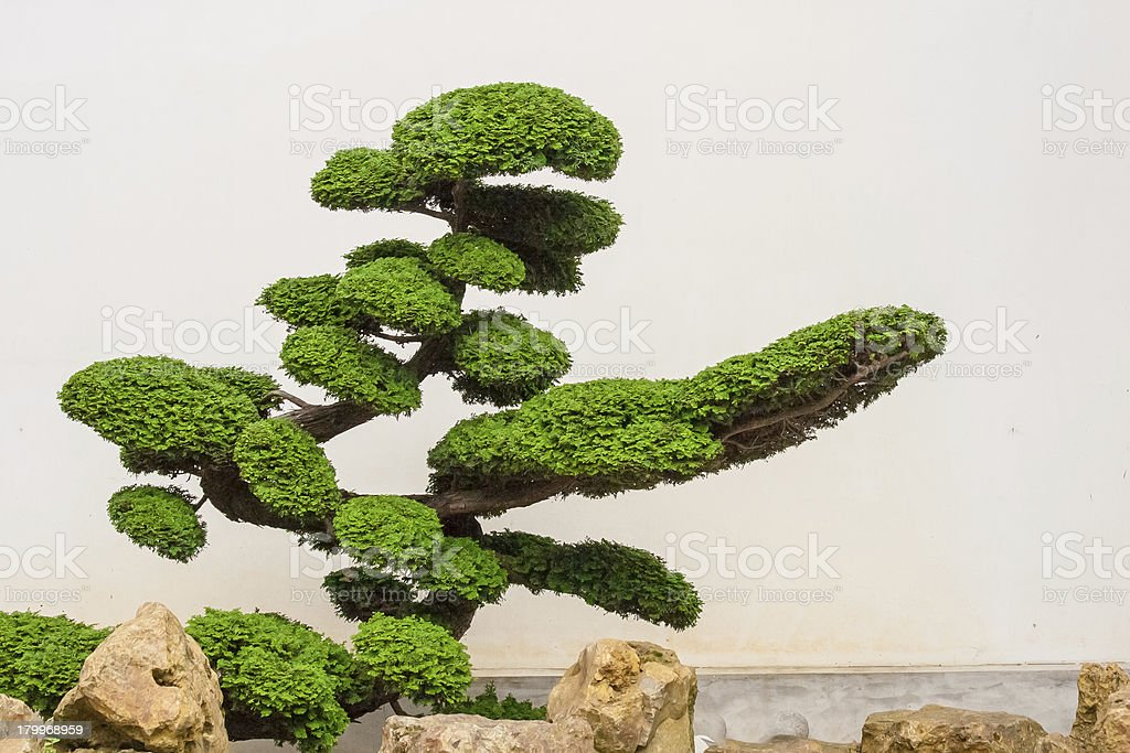 beautiful bonsai tree with rocks stock photo