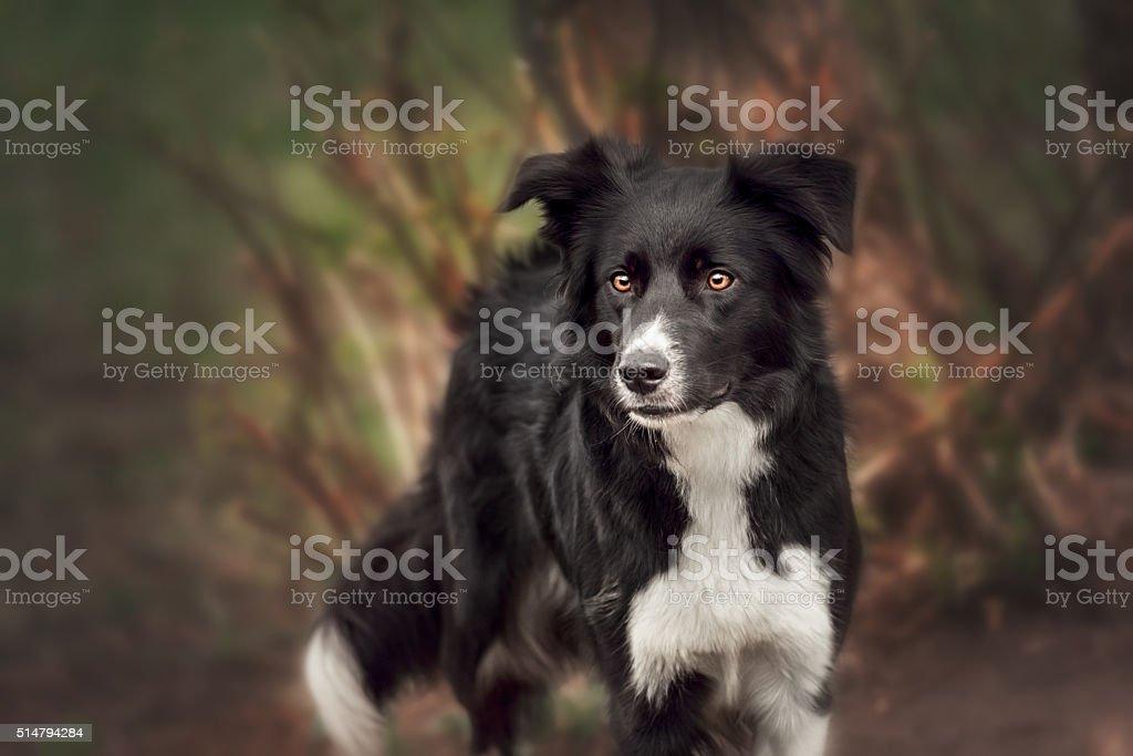 Beautiful Border Collie stock photo