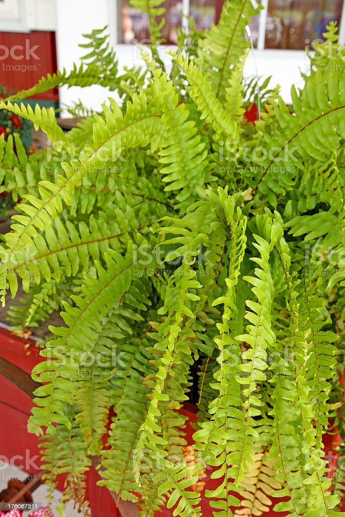 Beautiful Boston Fern stock photo
