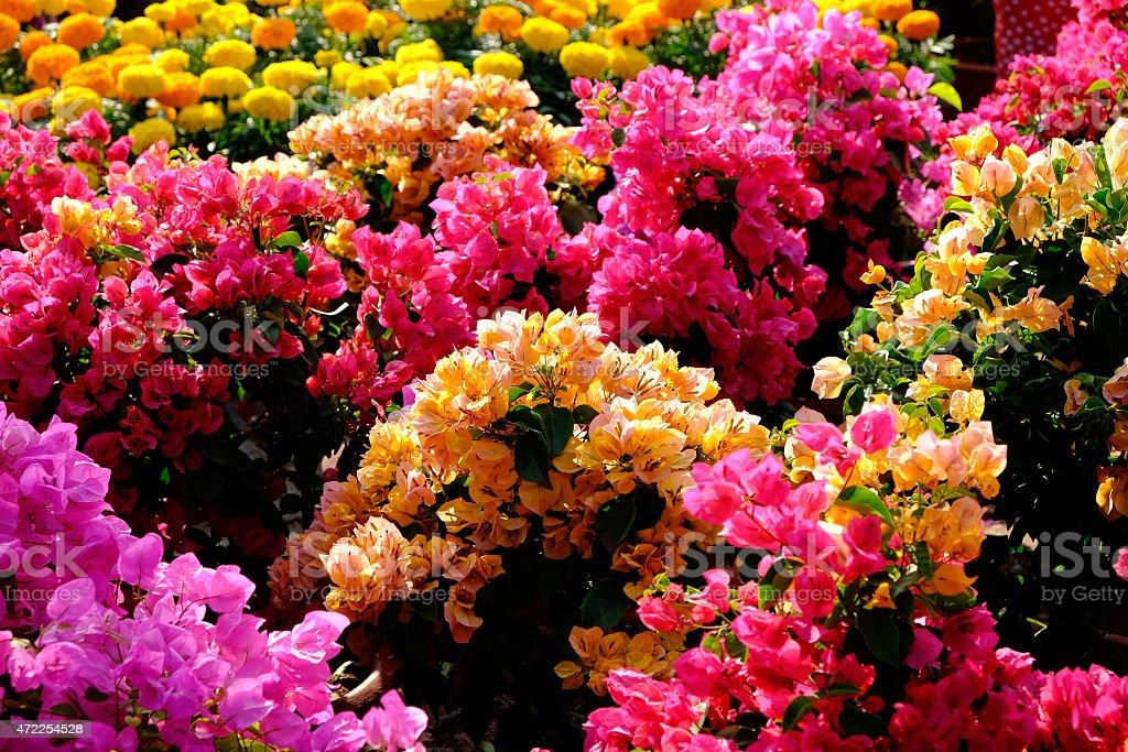 Beautiful Bougainvillea flower in VietNam royalty-free stock photo
